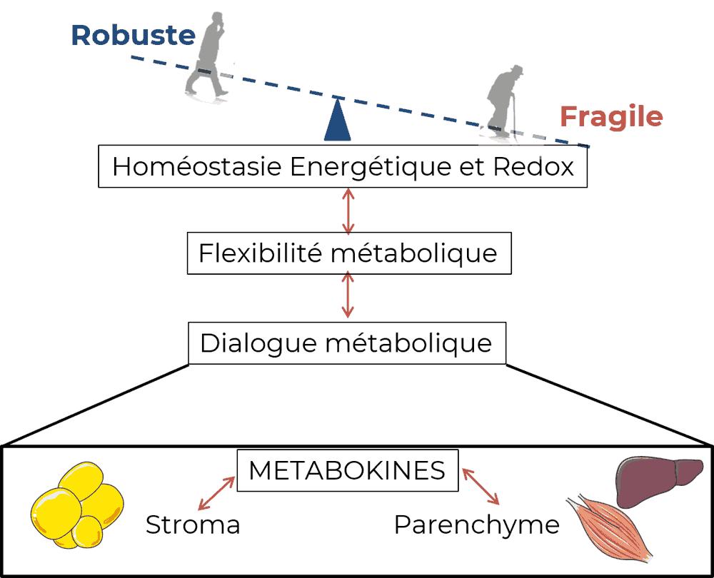 Cibler le dialogue métabolique systémique et local afin d'améliorer la flexibilité métabolique